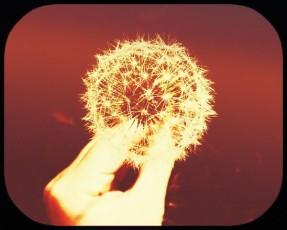 fingers grabbing dandelion fluff-sepia image