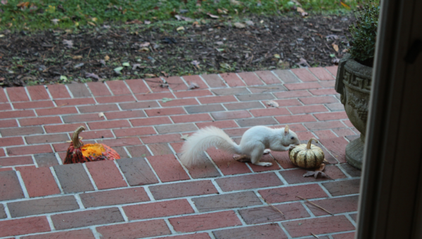Stephanie Stahl's magical white squirrel who eats pumpkins, nuts, and nut graphs